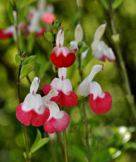Salvia grahamii