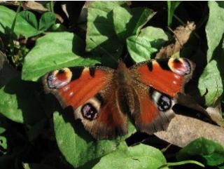 papillon pesticide