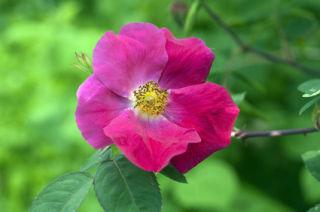 Rose gallica