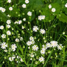 Plantes et sant utilisation bienfaits et vertus m dicinales - Herbe a chat plante ...