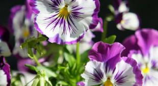 semis printemps