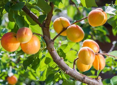 abricotier culture entretien et r colte des abricots. Black Bedroom Furniture Sets. Home Design Ideas