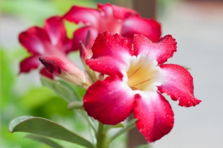 adenium - rose du desert