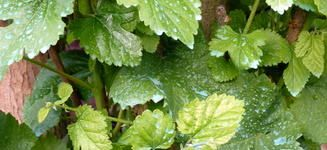 Jardinage - Traitement cerisier bouillie bordelaise ...