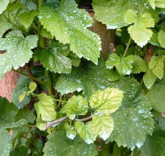 Bordeaux mixture, an effective treatment