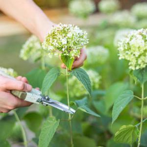 Taille des hortensias tout savoir conseils en vid o - Quand couper les fleurs fanees des hortensias ...
