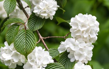 Viorne de chine Viburnum plicatum
