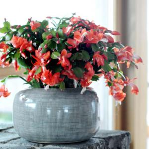 christmas cactus for pots and hanging plant arrangements. Black Bedroom Furniture Sets. Home Design Ideas