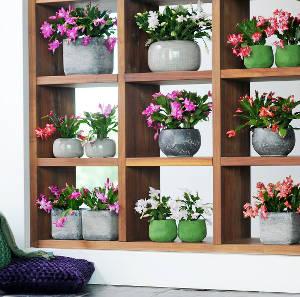 cactus de noel schlumbergera