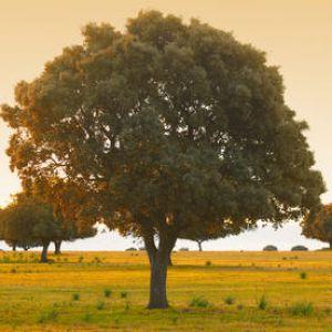 Ch ne vert plantation taille et conseils d 39 entretien - Tailler un cerisier trop haut ...