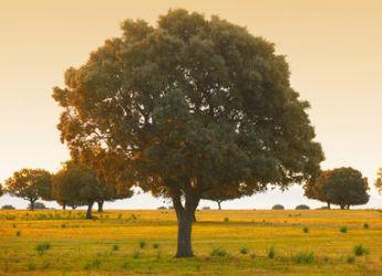 Ch ne vert plantation taille et conseils d 39 entretien - Arbre a feuille persistant ...
