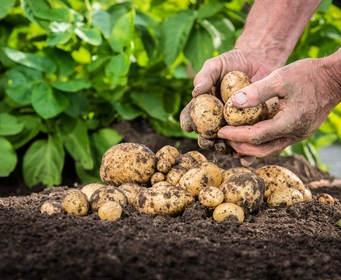 Pomme de terre plantation culture r colte et maladies - Arrosage pomme de terre ...