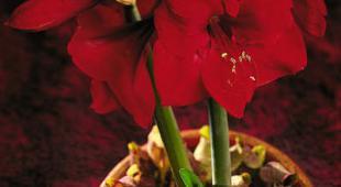 Amaryllis faire durer la floraison for Arrosage amaryllis floraison