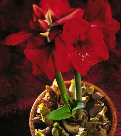 Amaryllis s 39 est arr t de pousser apr s les 2 premi res for Amaryllis ne fait que des feuilles
