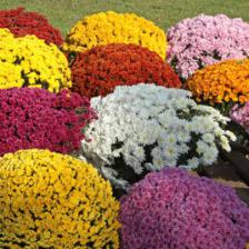 Chrysanthemes toussaint