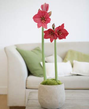 amaryllis deco design