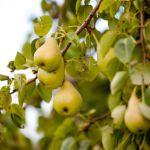 traitement fruitier apres recolte