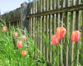 Tulipe plantation et conseils d 39 entretien des tulipes - Quand planter les bulbes de tulipes et jonquilles ...