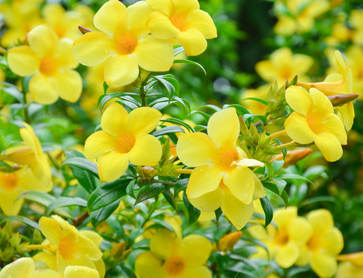 Allamanda Planting Pruning And Advice On Caring For It