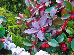 arbuste terrasse hiver persistant