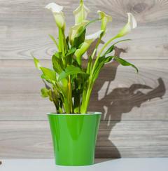 calla et anthurium des fleurs color es en int rieur