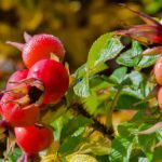 Eglantier fruit