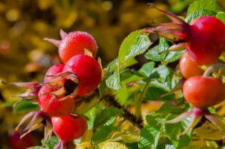 Eglantier fruit boule