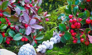 Gaulth rie culture taille et conseils d 39 entretien - Entretien orchidee apres floraison ...