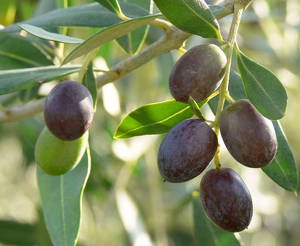 olive sur olivier