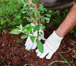 plantation automne arbuste