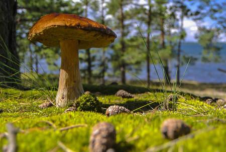 Les champignons comestibles au jardin - Calendrier des champignons comestibles ...