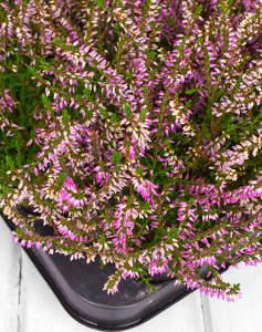 Fleurs A Planter En Hiver Des Idees De Plantations