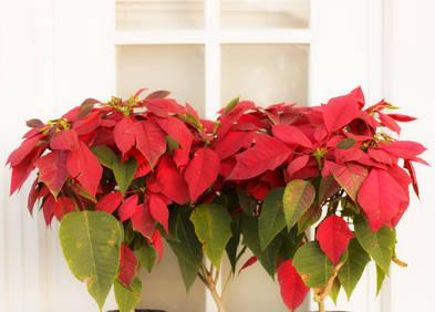 Poinsettia Etoile De Noel Tous Les Conseils D Entretien