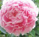 Pivoine fleur