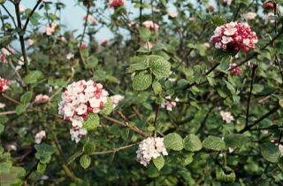 Viburnum carlesii - viorne hiver