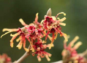 Des arbustes à fleurs pour l'hiver