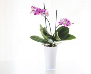 arrosage orchidée