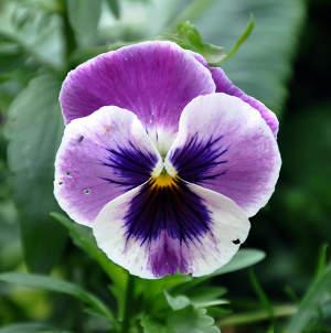 Pens e une fleur et des vari t s pour chaque saison - Pensee fleur vivace ou annuelle ...