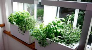 basilic en pot terrasse balcon et interieur. Black Bedroom Furniture Sets. Home Design Ideas