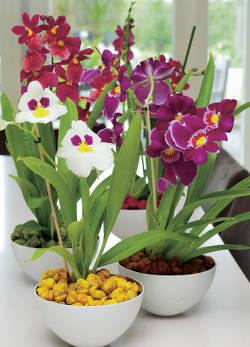 orchidee miltonia