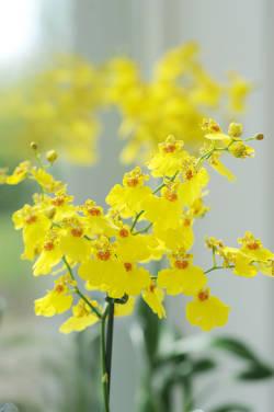 Orchidee oncidium