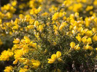 ajonc en fleur jaune