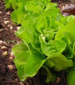 Laitue semis plantation culture et entretien for Entretien salade jardin