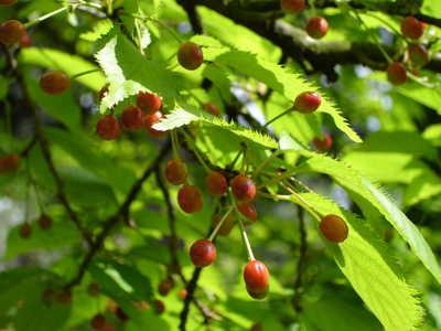 Merisier plantation taille entretien et r colte des merises - Arbre murier fruit comestible ...
