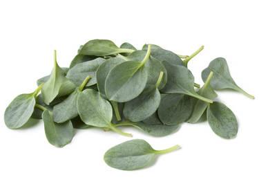 mertensie plante huitre