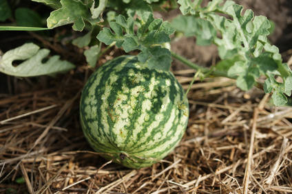 Watermelon, how to grow it best
