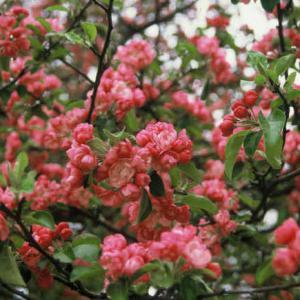 Flowers galore with ornamental apple trees mightylinksfo