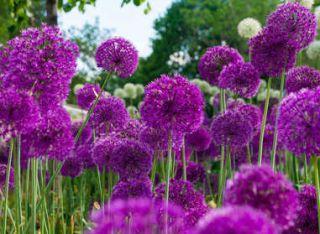 Allium entretien