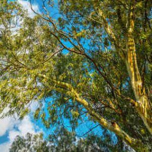 eucalyptus plantation taille et entretien. Black Bedroom Furniture Sets. Home Design Ideas
