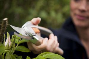 Taille des arbres et arbustes utilit et p riode - Taille des rosiers periode ...